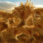 joseph's dream of the sheaves