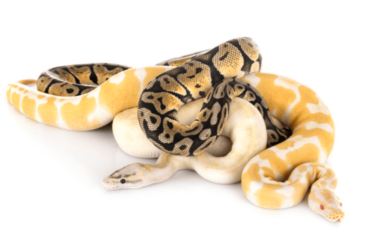 Biblical Meaning of Snakes in Dreams