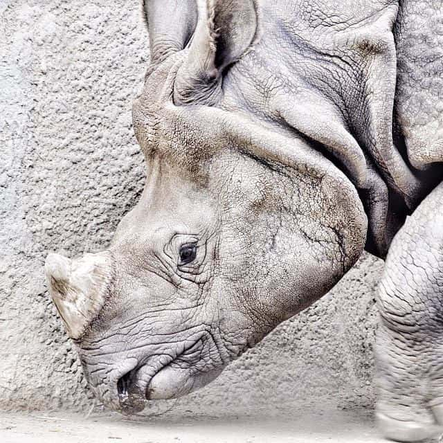Picture of a gray rhino. Were rhinos the unicorns we see in scripture?