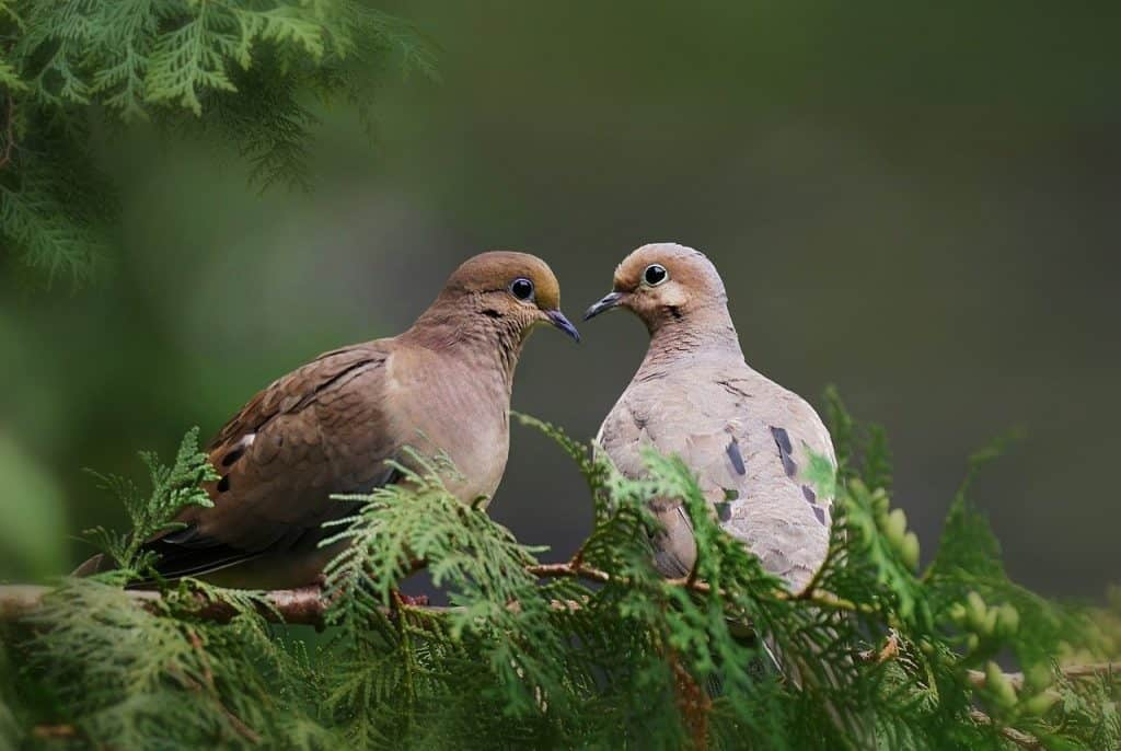 mourning doves symbolism